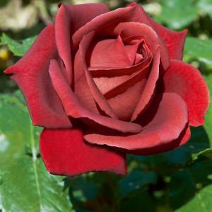 Чайно-гибридные розы Meilland (Мейян), Франция Terracotta (Терракотта), Meilland