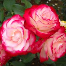 Розы флорибунда Meilland (Мейян), Франция Jubile du Prince de Monaco (Джубиле Дю Принц Де Монако), Meilland