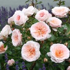 Кустовые розы (шрабы)  Kordes (Кордес), Германия Schloss Eutin (Шлосс Эутин), Kordes