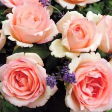 Чайно-гибридные розы  Kordes (Кордес), Германия Souvenir De Baden-Baden (Сувенир де Баден-Баден), Kordes