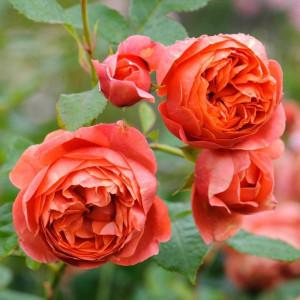 Кустовые розы (шрабы) David Austin (Дэвид Остин), Англия Summer Song (Самэр Сонг), David Austin