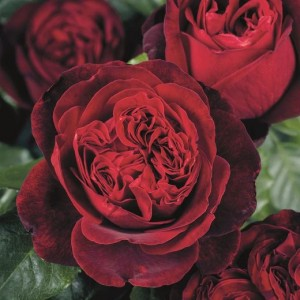 Чайно-гибридные розы Tantau (Тантау), Германия Admiral (Адмирал), Tantau
