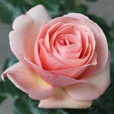 Чайно-гибридные розы Tantau (Тантау), Германия Aphrodite (Афродита), Tantau