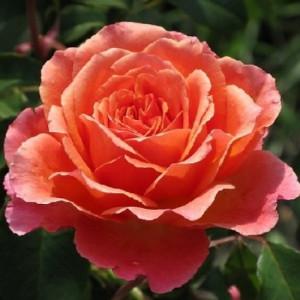 Чайно-гибридные розы Tantau (Тантау), Германия Albrecht Durer (Альбрехт Дюрер), Tantau