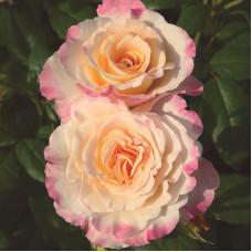 Чайно-гибридные розы Tantau (Тантау), Германия Aquarell (Акварель), Tantau