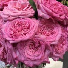 Чайно-гибридные розы Tantau (Тантау), Германия Ashley (Эшли), Tantau