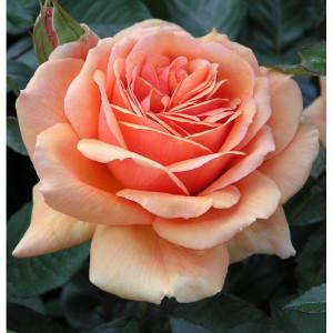 Чайно-гибридные розы Tantau (Тантау), Германия Ashram (Ашрам), Tantau
