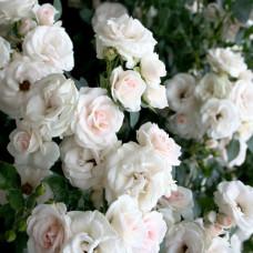 Кустовые розы (шрабы) Tantau (Тантау), Германия Aspirin Rose (Аспирин), Tantau