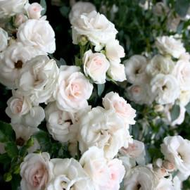 Aspirin Rose (Аспирин), Tantau