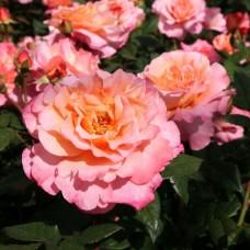 Чайно-гибридные розы Tantau (Тантау), Германия Augusta Luise (Августа Луиза), Tantau
