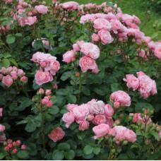 Розы флорибунда Tantau (Тантау), Германия Bailando (Байландо), Tantau