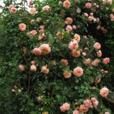 Плетистые розы Tantau (Тантау), Германия Barock (Барок), Tantau