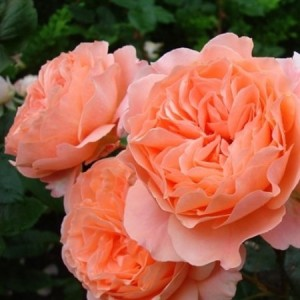 Кустовые розы (шрабы) Tantau (Тантау), Германия Belvedere (Бельведер), Tantau