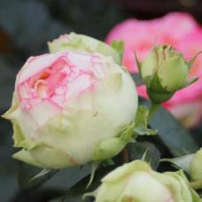 Патио, миниатюрные розы Tantau (Тантау), Германия Biedermeier (Бидермейер), Tantau