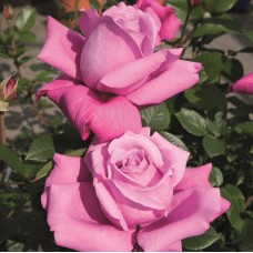 Чайно-гибридные розы Tantau (Тантау), Германия Blue Parfum (Блю Парфюм), Tantau