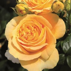 Чайно-гибридные розы Tantau (Тантау), Германия Candlelight (Кэндллайт), Tantau