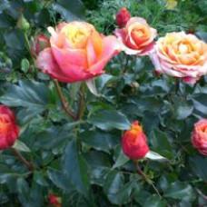 Чайно-гибридные розы Tantau (Тантау), Германия Cherry Brandy (Черри Бренди), Tantau