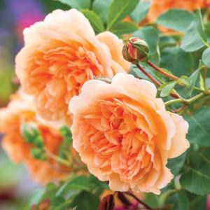 Кустовые розы (шрабы) David Austin (Дэвид Остин), Англия Dame Judi Dench (Дама Джуди Денч), David Austin