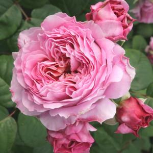 Чайно-гибридные розы Tantau (Тантау), Германия Eisvogel (Айсфогель ), Tantau