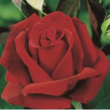 Чайно-гибридные розы Tantau (Тантау), Германия Erotika (Эротика), Tantau