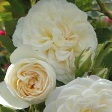 Кустовые розы (шрабы) Tantau (Тантау), Германия Friedenslicht (Фриденслихт), Tantau