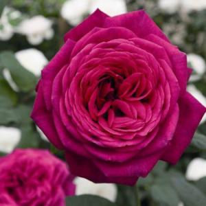 Чайно-гибридные розы Tantau (Тантау), Германия Johann Wolfgang von Goethe Rose (Роза Иоганн Вольфганг фон Гете), Tantau