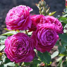 Патио, миниатюрные розы Tantau (Тантау), Германия Heidi Klum Rose (Хайди Клум Роуз), Tantau
