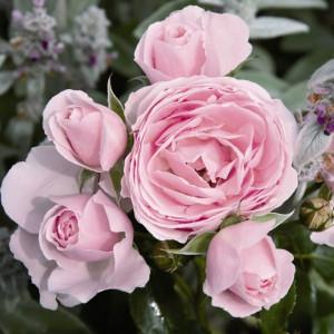 Розы флорибунда Tantau (Тантау), Германия Hans Gonewein (Ханс Геневайн), Tantau