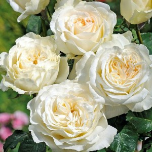 Чайно-гибридные розы Tantau (Тантау), Германия Irina (Irina Bondarenko) (Ирина), Tantau