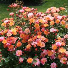 Розы флорибунда Tantau (Тантау), Германия Jazz (Джаз), Tantau