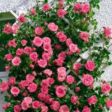 Плетистые розы Tantau (Тантау), Германия Lawinia (Лавиния), Tantau