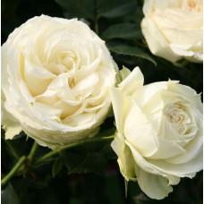 Розы флорибунда Tantau (Тантау), Германия Lemon Rokoko (Лемон Рококо), Tantau