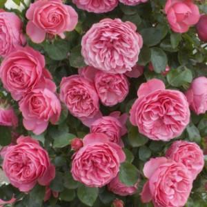 Розы флорибунда Tantau (Тантау), Германия Leonardo Da Vinci (Леонардо Да Винчи), Tantau