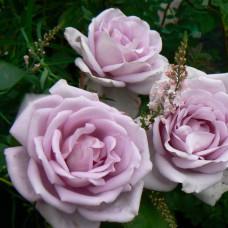 Чайно-гибридные розы Tantau (Тантау), Германия Mainzer Fastnacht (Майнцер Фастнахт), Tantau