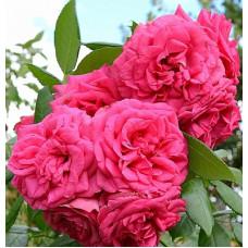 Плетистые розы Tantau (Тантау), Германия Maritim (Маритим), Tantau