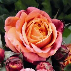 Чайно-гибридные розы Tantau (Тантау), Германия Mary Ann (Мэри Энн), Tantau