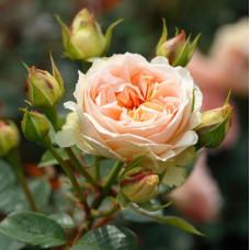 Кустовые розы (шрабы) Tantau (Тантау), Германия Matthias Claudius (Матиас Клаудиус), Tantau