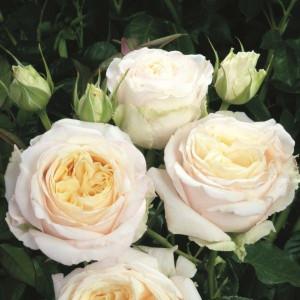 Чайно-гибридные розы Tantau (Тантау), Германия My Girl (Май Герл), Tantau