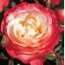 Чайно-гибридные розы Tantau (Тантау), Германия Nostalgie (Ностальжи), Tantau