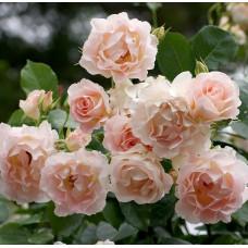 Кустовые розы (шрабы) Tantau (Тантау), Германия Rokoko (Рококо), Tantau