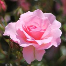 Кустовые розы (шрабы) Tantau (Тантау), Германия Rosario (Розарио), Tantau