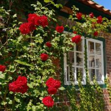 Плетистые розы Tantau (Тантау), Германия Santana (Сантана), Tantau