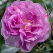 Кустовые розы (шрабы) Tantau (Тантау), Германия Saphir (Сапфир), Tantau