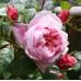 Чайно-гибридные розы Tantau (Тантау), Германия Shone Maide (Шоне Мэйд), Tantau
