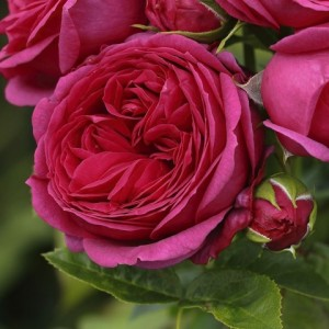 Чайно-гибридные розы Tantau (Тантау), Германия Sophie Luise (Софи Луиза), Tantau