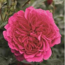 Кустовые розы (шрабы) Tantau (Тантау), Германия Soul (Соул), Tantau