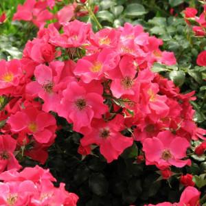 Кустовые розы (шрабы) Tantau (Тантау), Германия Stadt Rom (Штадт Ром), Tantau