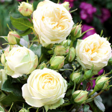 Чайно-гибридные розы Tantau (Тантау), Германия Wedding Piano (Веддинг Пиано) Tantau