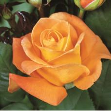 Чайно-гибридные розы Tantau (Тантау), Германия Whisky (Виски), Tantau