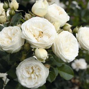 Кустовые розы (шрабы) Tantau (Тантау), Германия Artemis (Артемис), Tantau